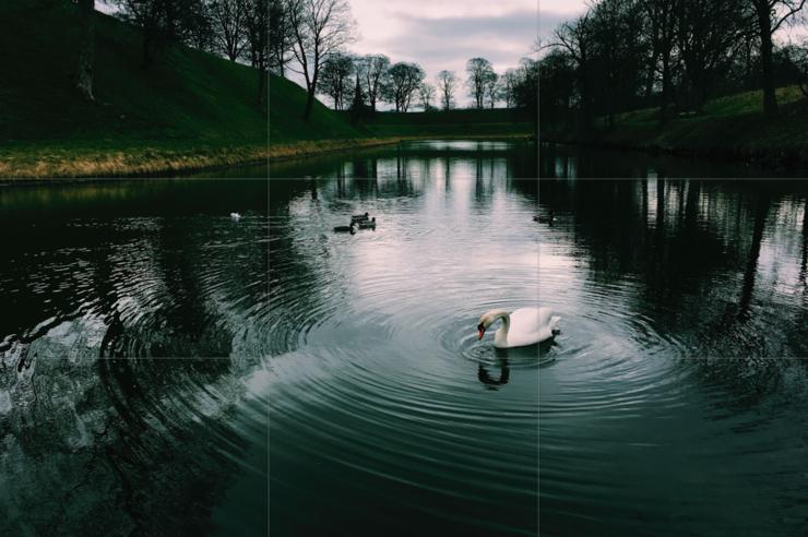 Svaner i en sø