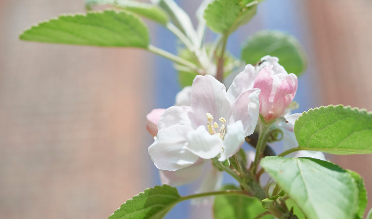 Billede af en hvid rose